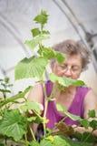 Äldre caucasian kvinnaträdgårdsmästare i växthus royaltyfri foto