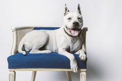 Äldre hund i stol Royaltyfria Foton