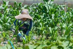 Äldre japanskt arbeta i trädgården för kvinna Fotografering för Bildbyråer