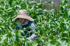 Äldre japanskt arbeta i trädgården för kvinna Arkivbilder