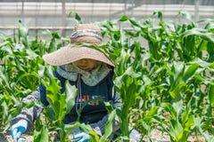 Äldre japanskt arbeta i trädgården för kvinna Arkivfoto