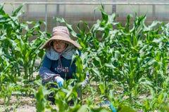 Äldre japanskt arbeta i trädgården för kvinna Arkivbild