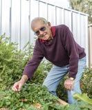 Äldre man i grönsakträdgård Royaltyfri Bild