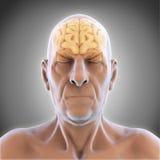 Äldre manliga Brain Anatomy royaltyfri illustrationer