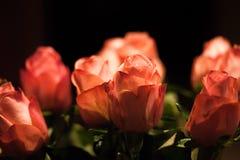 Äldre röda rosor Royaltyfri Bild