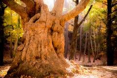 Äldst träd i skogen under nedgång Royaltyfria Foton