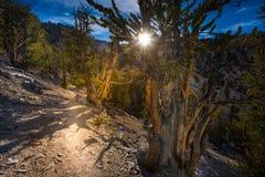 Äldst träd på jord Kalifornien royaltyfri fotografi