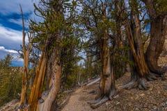 Äldst träd på jord Kalifornien royaltyfri foto