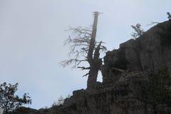 Äldst träd på mounatinöverkanten i dimma Arkivfoto