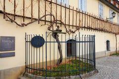 Äldst vinranka i världen i Maribor, Slovenien Royaltyfri Foto