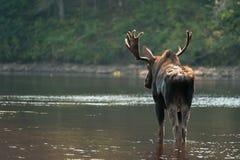 Älg bakifrån i floden Arkivfoton