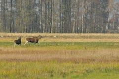 Älg djur som kör på weetäng Höst Royaltyfri Fotografi