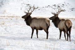 Älg för två tjur med stora horn på kronhjort Fotografering för Bildbyråer