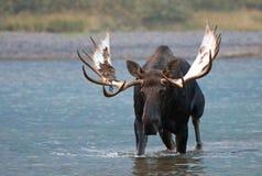 Älg för vuxen människaShiras tjur som går nära kust av Fishercap sjön i många glaciärregion av glaciärnationalparken i Montana US Arkivfoton