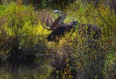 Älg för vuxen man i gåtalilla viken Colorado Royaltyfria Foton