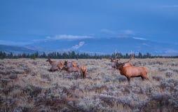 Älg för vuxen man och hans flock - storslagna Tetons Fotografering för Bildbyråer