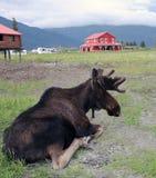 Älg i Alaska Arkivbild