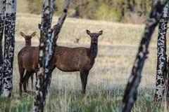 Älg i Colorado Royaltyfri Fotografi