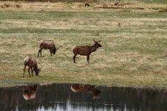 Älg i Colorado Arkivfoton