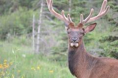 Älg i de kanadensiska steniga bergen Arkivfoton