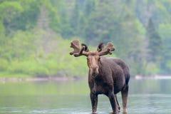 Älg i floden Arkivfoton