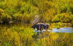 Älg i gåtalilla viken Colorado Arkivbild