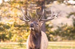 Älg i jaspisen, Alberta royaltyfri fotografi