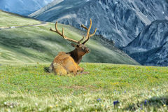 Älg i Rocky Mountain National Park Arkivfoton
