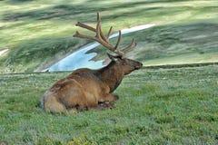 Älg i Rocky Mountain National Park Arkivfoto