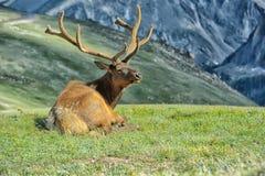 Älg i Rocky Mountain National Park Royaltyfri Bild