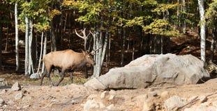 Älg i skog Arkivbild