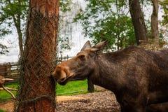 Älg i zoo Royaltyfria Foton