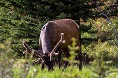 Älg med horn på kronhjort som betar på en äng i den Banff nationalparken Arkivbilder