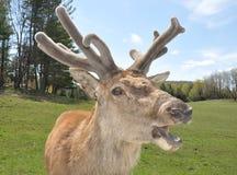 Älg med nya horn på kronhjort som verkar att tala royaltyfri foto
