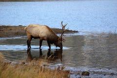 Älg nära Rocky Mountains som tar en drink Arkivfoton