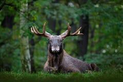 Älg-, Nordamerika eller Eurasianälg, Eurasia, Alcesalces i den mörka skogen under regnig dag Härligt djur i naturmumlen Royaltyfri Bild