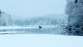Älg på sjön Arkivbilder