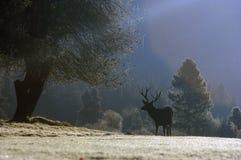 Älg på soluppgång, Yosemite, CA Royaltyfria Bilder