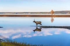 Älg reflekterad i sjön Royaltyfri Foto