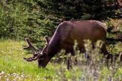 Älg som betar på en äng i den Banff nationalparken Royaltyfri Fotografi