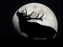 Älg som blockerar månen Royaltyfria Bilder