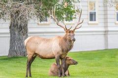 Älg som håller ögonen på över ko i by av Mammoth Hot Springs Royaltyfria Foton