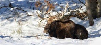 Älg som vilar i snö Royaltyfri Foto