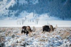 Älg storslagen Teton nationalpark Arkivbild