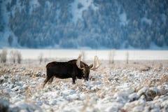 Älg storslagen Teton nationalpark Arkivfoto