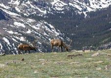 Älgar av Rocky Mountains Arkivbild
