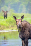 Älgar i floden Royaltyfri Foto