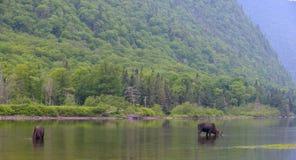 Älgar i floden Royaltyfri Fotografi