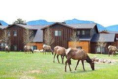 Älgar som betar på gräs i Estes Park Arkivfoto