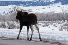Älgen i vinter lägger ner på den insnöade nationalparken av royaltyfri fotografi